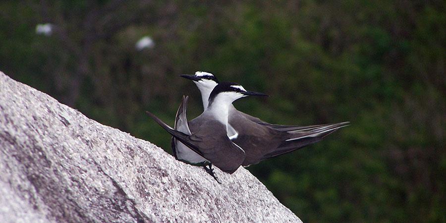 Bridled-Tern