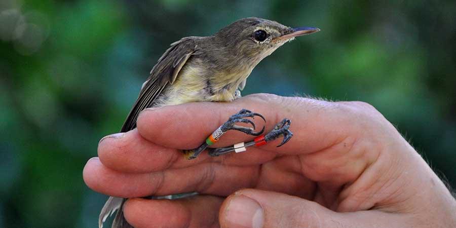 warbler-translocation