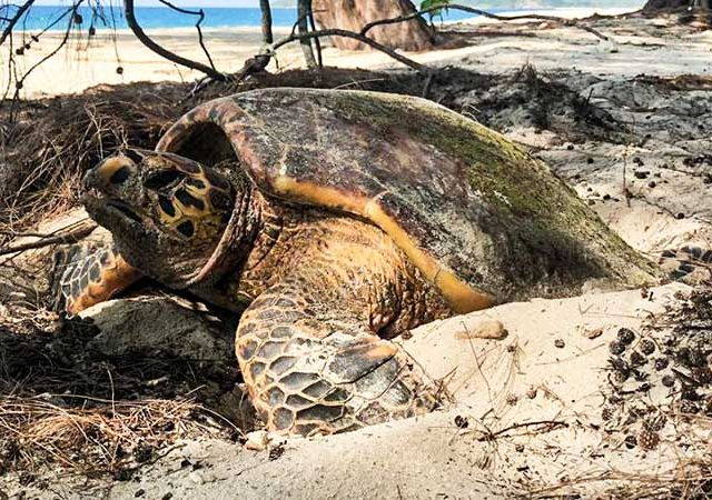 cousin-island-is-an-important-nesting-site-for-Hawksbill
